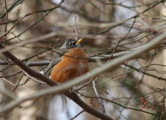 "American Robin • <a style=""font-size:0.8em;"" href=""http://www.flickr.com/photos/92887964@N02/8515104919/"" target=""_blank"">View on Flickr</a>"