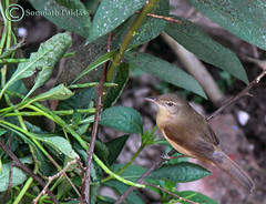 bryth reed warbler at my butterfly garden fl (Paldas Photography) Tags: green bird reed nature butterfly garden gardening birding som fl warbler somnath colorwings migratorybird birdsindia butterflygardening birdindia paldas colorwingsbutterflygardeningconsultancyservice bryth brythreedwarbler