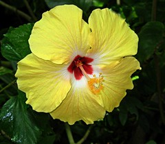 A little bright spot for a spirit lifter. Past post from 05/2010 (DonaSite) Tags: flower yellow blossom sweet full hibiscus bloom strong haveaheart unusualbeauty yetsoft