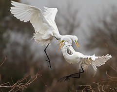 Frolicking in the Sky (Let there be light (Andy)) Tags: birds texas egret rookery highisland texasbirds featheryfriday specanimal houstonaudubon avianexcellence uppertexascoast smithoaks slbcourtship