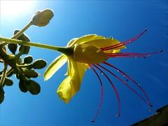 Pistils et eau (photomateur1) Tags: nature fleur fleurs jaune rouge eau lumière couleurs bleu reflet ciel couleur lumières gouttes