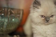 Cat9661 (38) (Cat9661) Tags: animals cat حيوانات مون قطط هاف بسة فيس شيرازي بيكي بساس هملايا