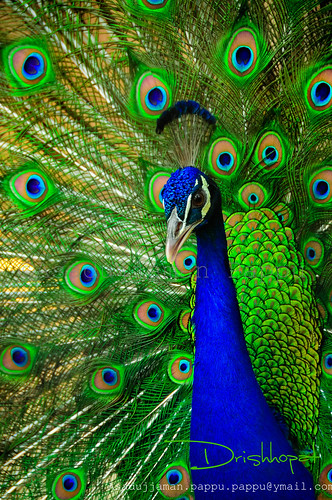 ভারতীয় ময়ূর (Indian Peafowl)