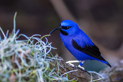 Purple Honeycreeper Male (SARhounds) Tags: male ngc sandiegozoo purplehoneycreeper cyanerpescaeruleus specanimal captivebird hummingbirdhouse