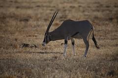 East African oryx (Oryx beisa) (JeDi58) Tags: africa nature animal mammal kenya wildlife samburu 2013 oryxbeisa eastafricanoryx