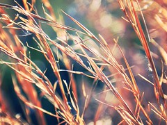 Pull Me Down (Venusian Lady) Tags: nature colors beautiful field catchycolors landscape rainbow colorful bokeh grain dreamy