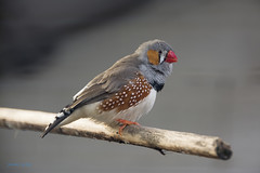 An exotic feathery thing in Abbey Park (Zebra Finch) (www.jamesgreigphotographer.com) Tags: