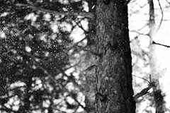 dusting of snow (questionsofscience) Tags: blackandwhite snow tree nature minnesota forest woods nikon bokeh bark snowing duluth hartleynaturecenter d3100 nikond3100