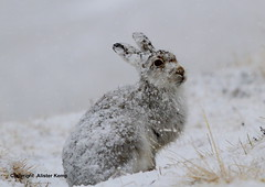 Mountain Hare - Scottish Highlands (Ally.Kemp) Tags: mountain snow weather scotland hare scottish