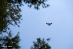 風箏 - Eagle kite -  Chung Hsing New Village (prince470701) Tags: taiwan 南投 中興新村 nantou 風箏 chunghsingnewvillage sigma70300mm eaglekite sonya850