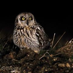 2013-03-26-Bugey-Lechuza-052 (https://www.instagram.com/masjota/) Tags: bird ave oiseau nuco rapaz rapacious rapace shortearedowl asioflammeus búhocampestre hiboudesmarais lechuzacampestre lechuzóndepajonal