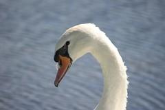 Posing (tieulinhclc - Thanks for 2 million + views) Tags: park lake bird nature swan heart waterbird il swans waterfowl rockford 4lakes dlphotography dandlphotography