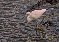 Snowy Egret Looking for Dinner During Sunset at Mill Creek Marsh in Secaucus NJ (Meadowlands) (takegoro) Tags: creek marsh nature wildlife sunset snowy meadowlands egret mill nj birds secaucus egret