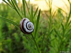 In the garden (Daniel Boca) Tags: snail climbing summer july macro closeup detail details colour colours color colors colorful plant plants leaf leafs green outdoor