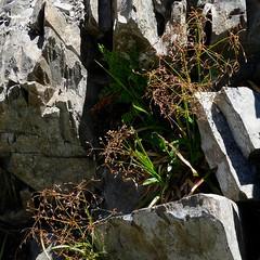 Luzula divaricata, WOOD RUSH? (openspacer) Tags: inyocounty inyonationalforest