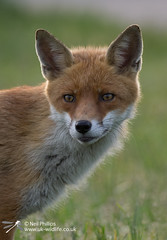 Fox-21 (Neil Phillips) Tags: canidae carnivora essex greenbackground mammalia vulpini wattylercountrypark backlighting backlit black canine eyes face fox grass green head infield light mammal meadow orange plant red redfox standing sunbehind vulpes walking whiskers