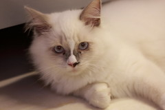 20160809-029 (Snowy Olaf) Tags: kitten britishlonghair       feliscatus  canon 5dmarkiii ef100400mm4556lis f4556