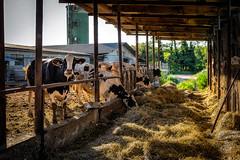 Terre di pianura (agoralex) Tags: tramonto dettagli campi cascinamorona agoralex mucche navigliodibereguardo controluce cascina freghina