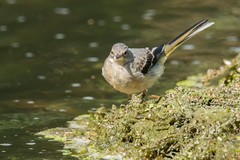 Grey Wagtail (Andrew_Leggett) Tags: motacillacinerea greywagtail water stream bird summer juvenile young natural nature