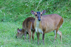 Le muntjac de Reeves (Muntiacus Reevesi) (Dicksy93) Tags: img2193 le muntjac de reeves muntiacusreevesi femelle cervidae mammifre animal omnivore statut iucn lc proccupation mineure extrieur outdoor zooparc trgomeur ctes darmor 22 france bretagne breizh bzh brittany europe dicksy93 canon eos 7d ef 100400mm