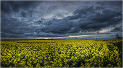 Fields of yellow, sky of grey (Chas56) Tags: sunset canon canon5dmkiii canola canolafield farm rural country countryvictoria countryside clouds cloudy cloudysky storm stormysky victoria landscape yellow crops flowers flaura springtime spring wow ngc sky