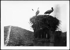 Archiv H097 Meister Adebar, 1950er (Hans-Michael Tappen) Tags: archivhansmichaeltappen storch meisteradebar storchennest nest strche 1950er 1950s