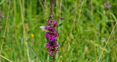 Bee Approaching Purple Loosestrife (Duncan.B) Tags: bee flora flowers wwtbarnes samsungnx samsung nx10 purpleloosestrife lythrumsalicarial