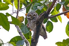 Spotted Owlet (Athene brama) Пятнистый сыч (Mikhail & Yana) Tags: spottedowlet athenebrama пятнистыйсыч bird birdsofthailand