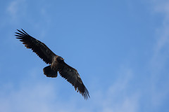 Gypate barbu (juvnile) (chmptr) Tags: animalier animal wildlife oiseau bird gypate barbu vulture bearded jeune