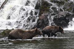IMG_6626_1 (kalday) Tags: chichagofisland alaska pavlofriver brownbear grizzlybear kodiakbear