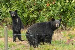 _DSC1269 (Confusion_Circle) Tags: black bear park