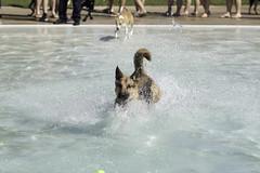 IMG_9532 (kris10pix) Tags: dogpaddle2016 dogs puppies puppy splash pool fetch dog wisconsin capitolk9s mutts purebreed leap madisonwi goodmanspool wetdog summer