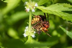 Hornet (Vespa crabro) preying on Honey Bee (shaftination) Tags: apismellifera arthropod european honeybeeapismellifera hornet hornetvespacrabro vespacrabro western eating feeding honeybearing insect paulfarnfieldcom profile side sideview view