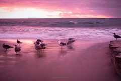 Sea Gulls (AMaleki) Tags: beach coronadelmar landscape littlecorona orangecounty pacificocean seascape sunset