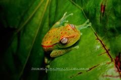 Hypsiboas punctatus (FabioZabala) Tags: hypsiboas punctatus hylidae colombia diversidad amphibian a6000 anfibios anfibio fauna frog llanos lleras anuran animals meta sony sel30m35 emount mirrorless ilce animal planet