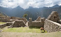 Per - Cuzco (Nailton Barbosa) Tags: peru per machu picchu cusco cuzco lhama vicunha alpaca nikon d80 lama      la llama               prou      per lamy              inca vale sagrado sacred valley valle sacre