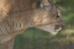 042_Great Cats Park_Cougar (steveAK) Tags: greatcatsworldpark cougar mountainlion