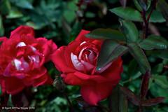 I Are Pretty (jimgspokane) Tags: roses flowers manitopark duncangarden rosehill spokanewashingtonstate