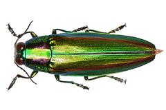 yamatotamamushi_16824stkb (takao-bw) Tags: ヤマトタマムシ タマムシ japan insect jewelbeetle buprestidae coleoptera beetle 甲虫 昆虫