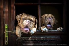 (stef.gerard.7) Tags: dig doguedebordeaux animal