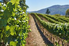 DSC00876-4800 (westonde) Tags: winery vineyard rokkor minolta grapes oregon forestgrove