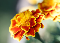 8/27/16 Marigold, Up Close (Karol A Olson) Tags: marigold flower orange macrolens macro closeup aug16 project3662016