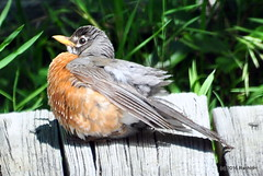DSC_0310 (rachidH) Tags: birds robin americanrobin turdus merle merledamerique sparta nj rachidh nature oiseaux sun sunbathing