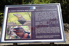 DSC00890 (massimocenedese) Tags: lucertola gigante di gran canarianature animaliel lagarto de canaria giardino botanico sony a6000