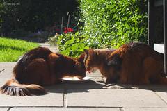 Sunday lunch - for Happy Caturday (Finn Frode (DK)) Tags: cats eat lunch verandah rags dusharatattersandrags caithlin dusharacathalcaithlin somali somalicat som olympus omdem5 denmark animal pet cat outdoor happycaturday