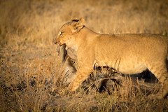Lion cub (loveexploring) Tags: africa botswana chobenationalpark animal carnivore goldenhour lion lioncub mammal predator wildebeastskin wildlife