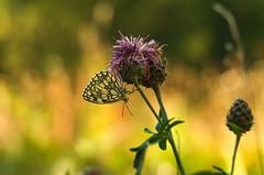 Summer in Cogne 0.6 (bresciano.carla) Tags: naturalmente pentaxart pentaxk500 helios442258 cogne summer butterfly nature flickr colors light bokeh manuallens vintage