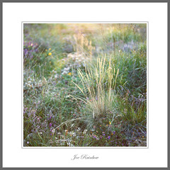 Heather and Grasses (Joe Rainbow) Tags: landscape heather grass detail film mamiyarz67proii portra400 flora nature outdoors filmisnotdead