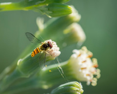 Bug preparing for takeoff (Zandemic) Tags: bug fly insect macro bokeh blur smooth silky colors vibrant