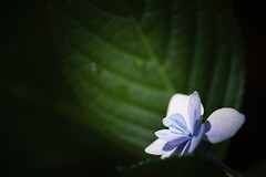 Midnight blue bird. (lakeside_cat) Tags: hydrangea flower blue blueflower lightanddark light dark      nikon d4s nikond4s